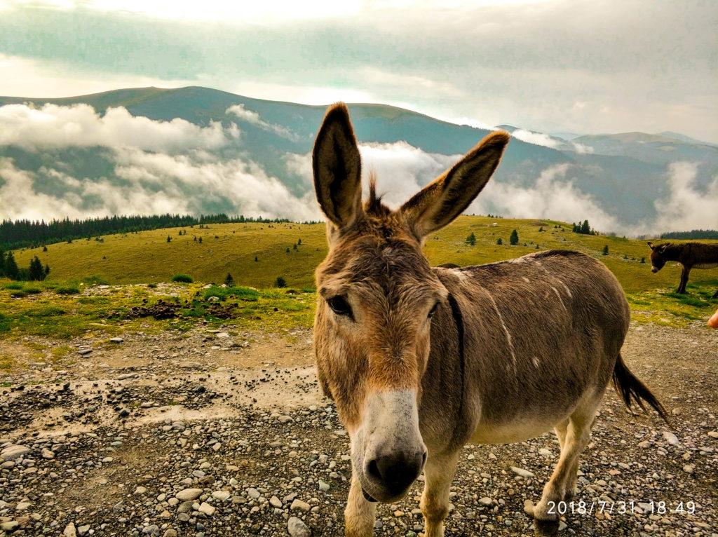 Transalpina, Rumunia, osły