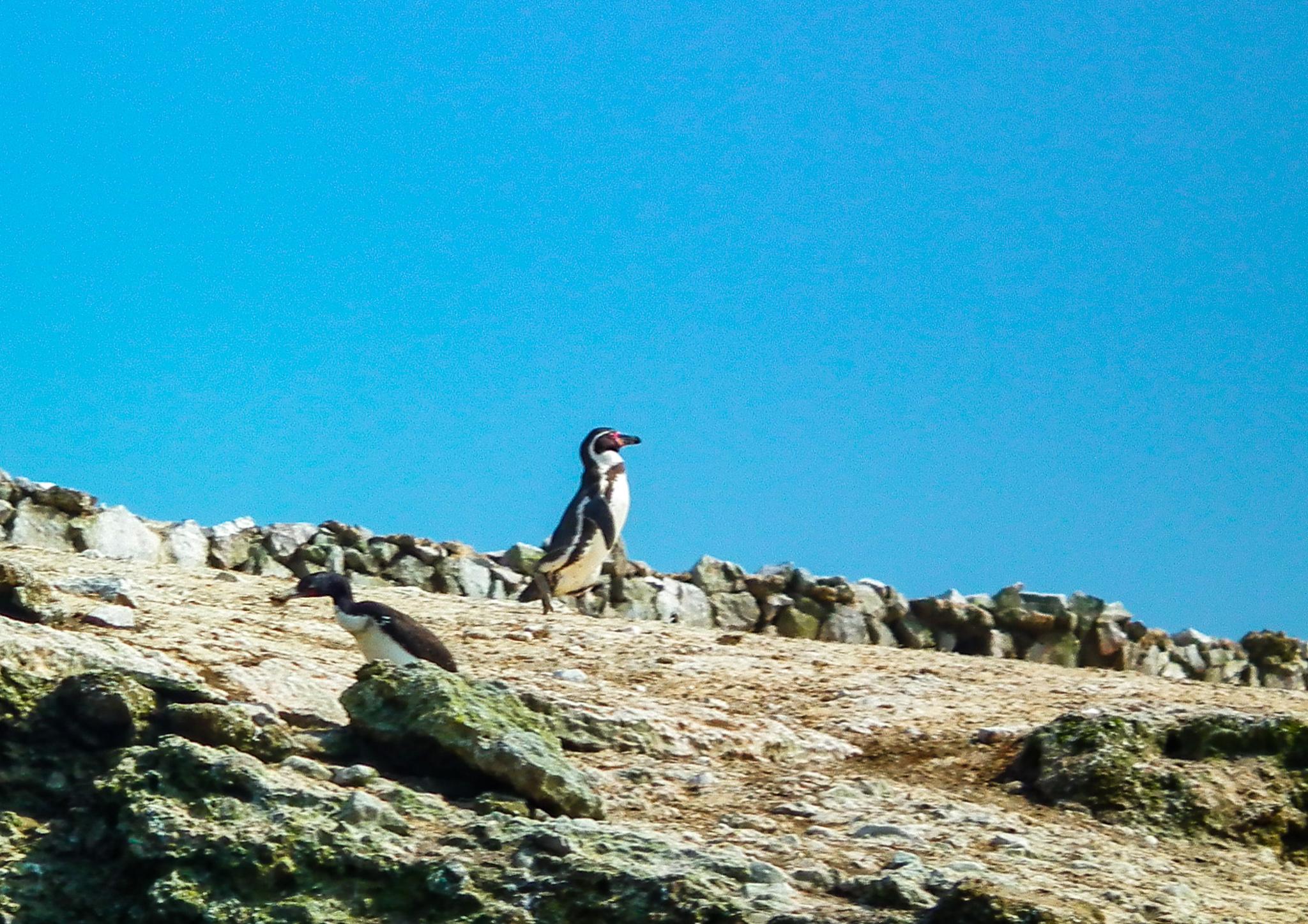 pingwin Humboldta