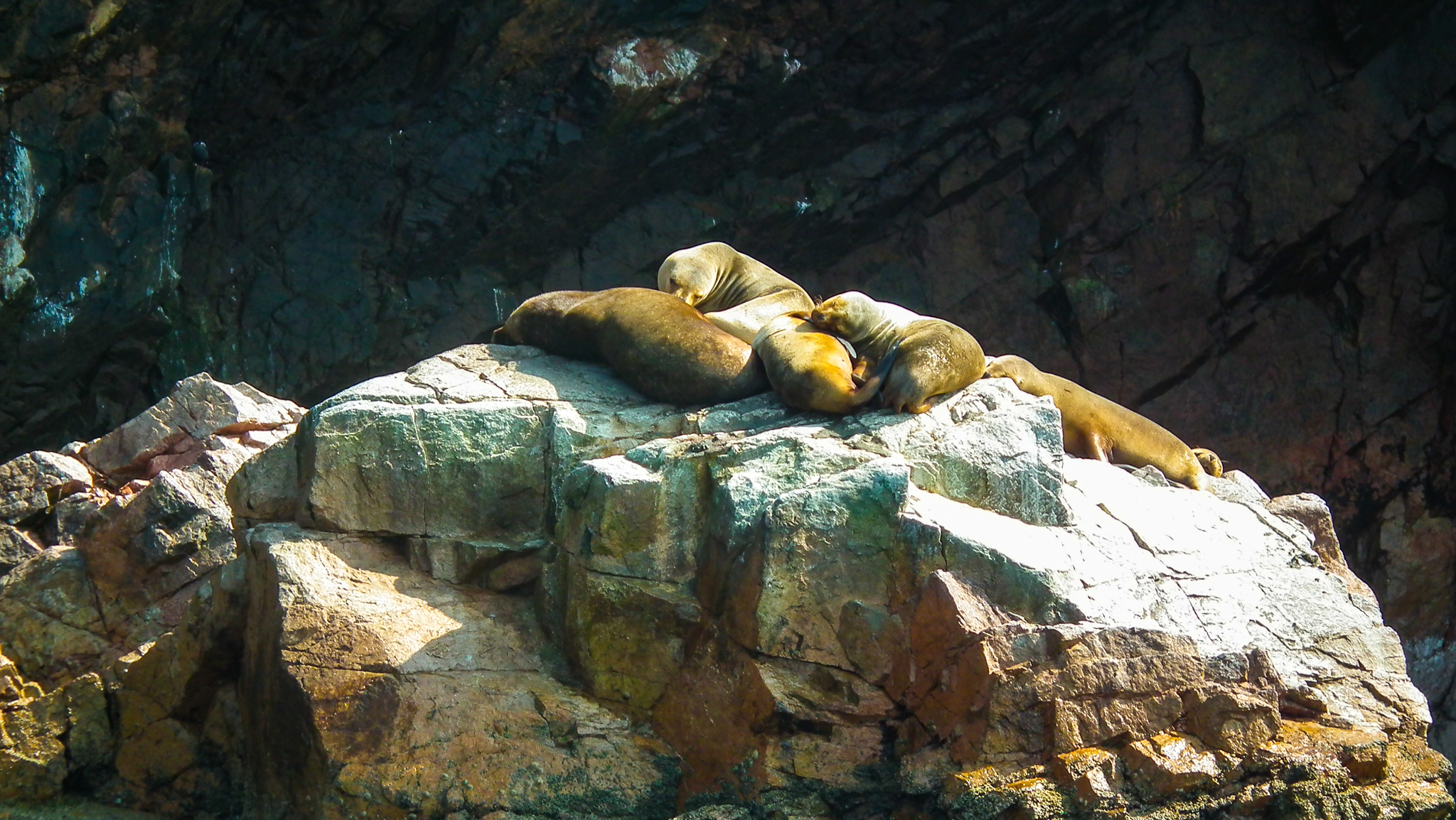 lwy morskie